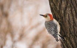 鼓起的红色啄木鸟 图库摄影