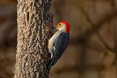 鼓起的红色结构树啄木鸟 库存图片