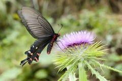 鼓起的红色swallowtail 库存照片