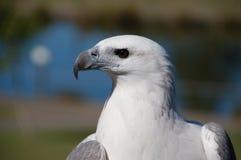 鼓起的老鹰海运白色 库存照片