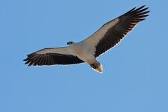 鼓起的老鹰海运白色 免版税库存图片