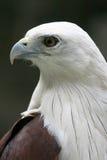 鼓起的老鹰纵向配置文件海运白色 免版税库存图片
