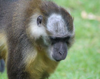 鼓起的金黄白眉猴 免版税库存图片