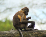 鼓起的金黄白眉猴 免版税库存照片