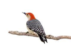 鼓起的额嘴包括红色雪啄木鸟 免版税库存图片