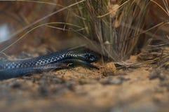 鼓起的黑色红色蛇 免版税图库摄影