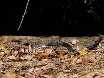 鼓起的黑色红色蛇 免版税库存照片
