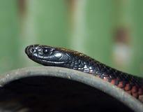 鼓起的黑蛇红色 库存图片