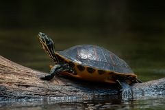 鼓起的黑鸭佛罗里达红色乌龟 库存图片