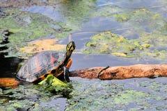 鼓起的黑鸭佛罗里达红色乌龟 图库摄影