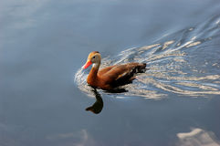鼓起的黑鸭吹口哨 免版税库存照片
