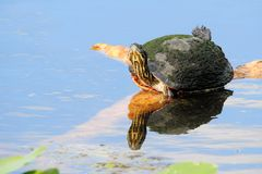 鼓起的黑鸭红色乌龟 库存照片