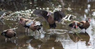 鼓起的黑鸭吹口哨 库存图片