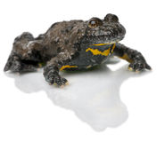 鼓起的bombina蟾蜍variegata黄色 库存照片