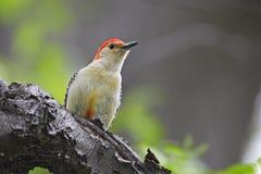 鼓起的carolinus melanerpes红色啄木鸟 库存图片