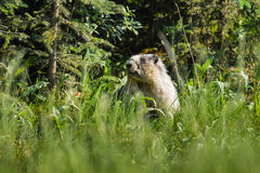 鼓起的flaviventris土拨鼠早獭黄色 库存照片