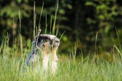 鼓起的flaviventris土拨鼠早獭黄色 库存图片