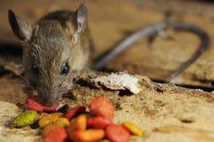 鼠偷窃吃饲料 图库摄影