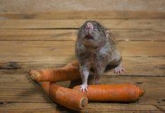 鼠吃一棵红萝卜 免版税图库摄影