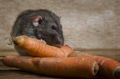 鼠吃一棵红萝卜 免版税库存照片