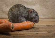 鼠吃一棵红萝卜 库存图片