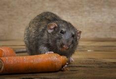 鼠吃一棵红萝卜 免版税库存图片