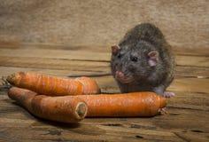 鼠吃一棵红萝卜 图库摄影