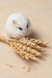 仓鼠吃一颗种子 库存图片