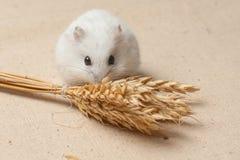 仓鼠吃一颗种子 库存照片