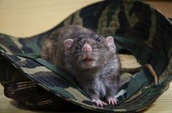鼠和伪装巴拿马 免版税库存图片