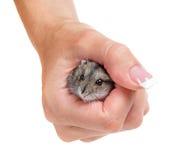 仓鼠在手中 免版税库存照片