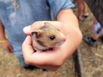 仓鼠在手中 库存照片