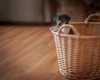 鼠在柳条筐的狗小狗 免版税库存图片