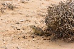 鼠在沙漠 库存图片