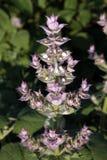 鼠尾草植物贤哲(Salvia sclarea) 图库摄影