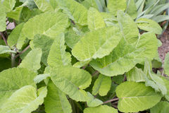 鼠尾草植物-贤哲- Salvia sclarea 免版税库存图片