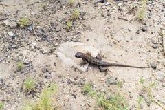 鼠尾草蜥蜴 库存图片