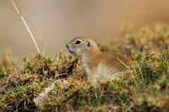 黄鼠属欧洲地面地面松鼠类灰鼠 免版税库存照片