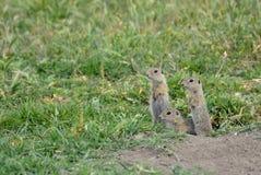 黄鼠属欧洲地面地面松鼠类灰鼠 库存照片