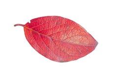 鼠李属的叶子 免版税图库摄影
