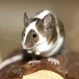 鼠标年轻人 库存图片