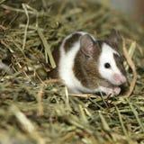鼠标年轻人 库存照片
