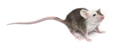鼠标年轻人 免版税库存图片