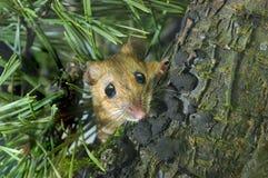 鼠标收缩的木黄色 库存图片
