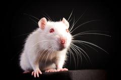鼠标白色 图库摄影