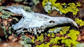 鼠的颚骨 库存照片