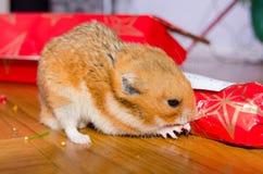 仓鼠的Xmas礼物 库存图片