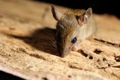 鼠看看 库存照片