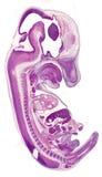 鼠胚胎 库存图片