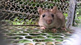 鼠被困住的里面金属笼子 股票录像